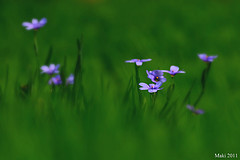 blue eyed grass flowers